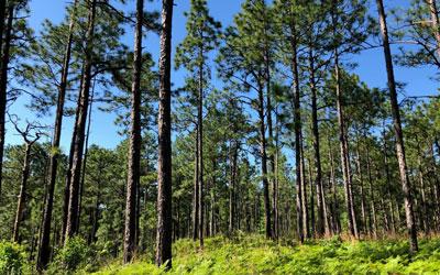long leaf pine trees